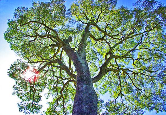 Árvore Copaíba ( Copaifera sp). SP. 2004. Foto de Mauricio Simonetti.
